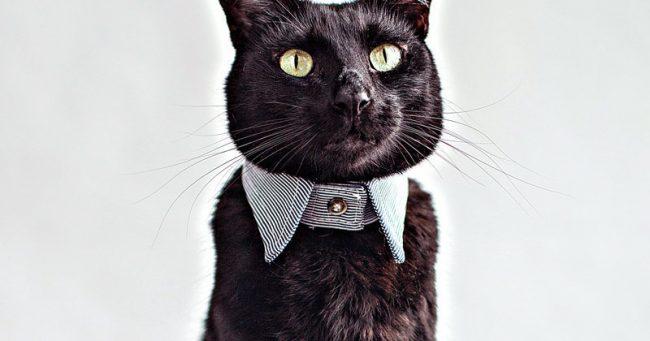 Un col de chemise pour chat (un peu précieux)