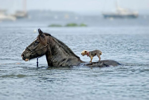 cheval chien
