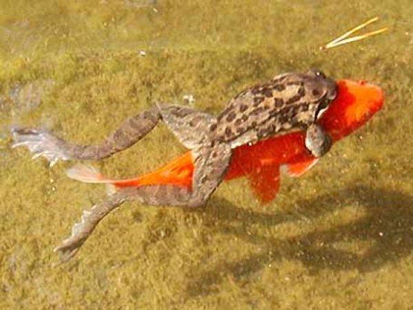grenouille poisson