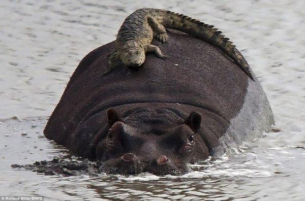 hippo crocodile
