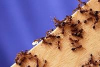 Fire_ants02