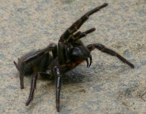 australian-spiders-funnelweb2