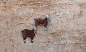Goats2une