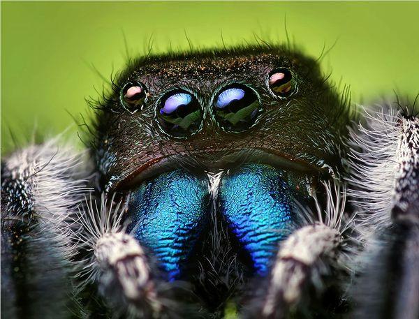 jumping.spider_resultat
