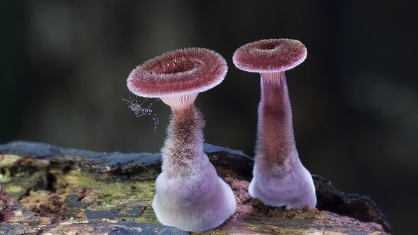 Panus fasciatus_resultat