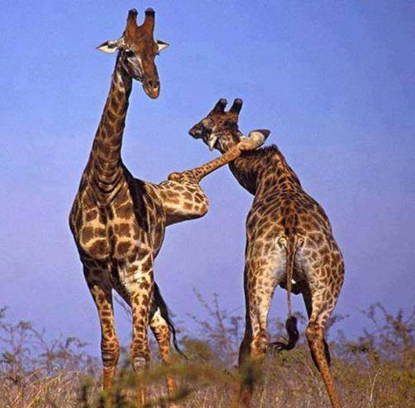 girafe-ninja_resultat