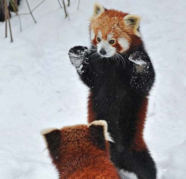 panda-roux-ninja_resultat