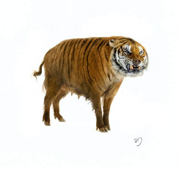 TigerBoar