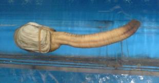 Panope-du-Pacifique-le-mollusque-sexy-photo-02