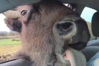 bisou_bison