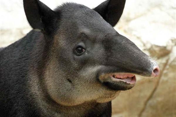 tapir (7)