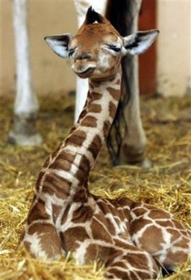 baby girafe