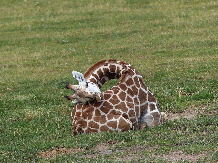 girafe-dodo-6