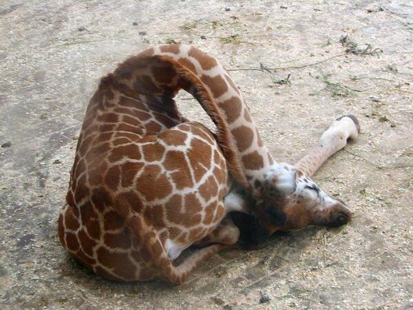 girafe-dort-2