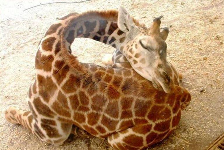 girafe-dort-3