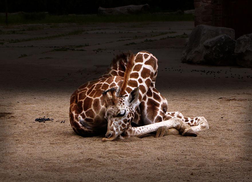 girafe-dort-4