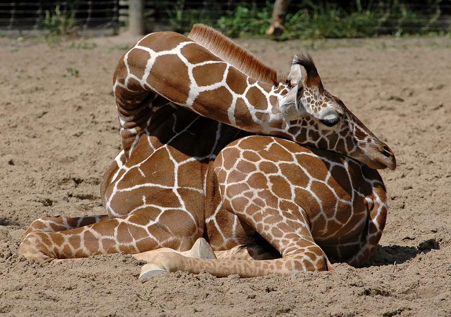girafe-dort-5