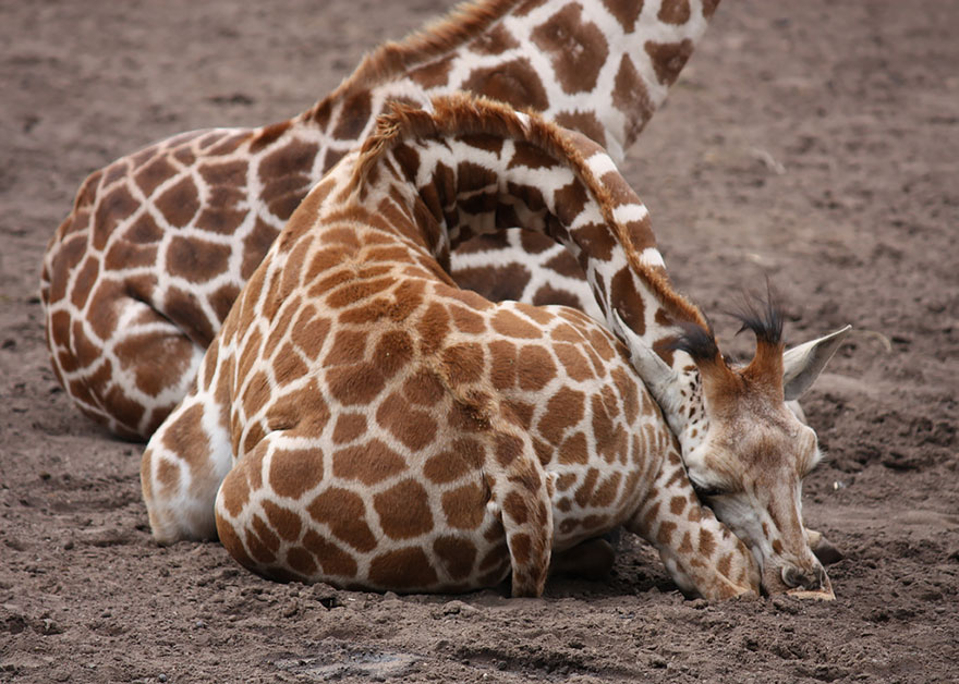girafe-dort-6