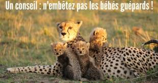 une_guepard