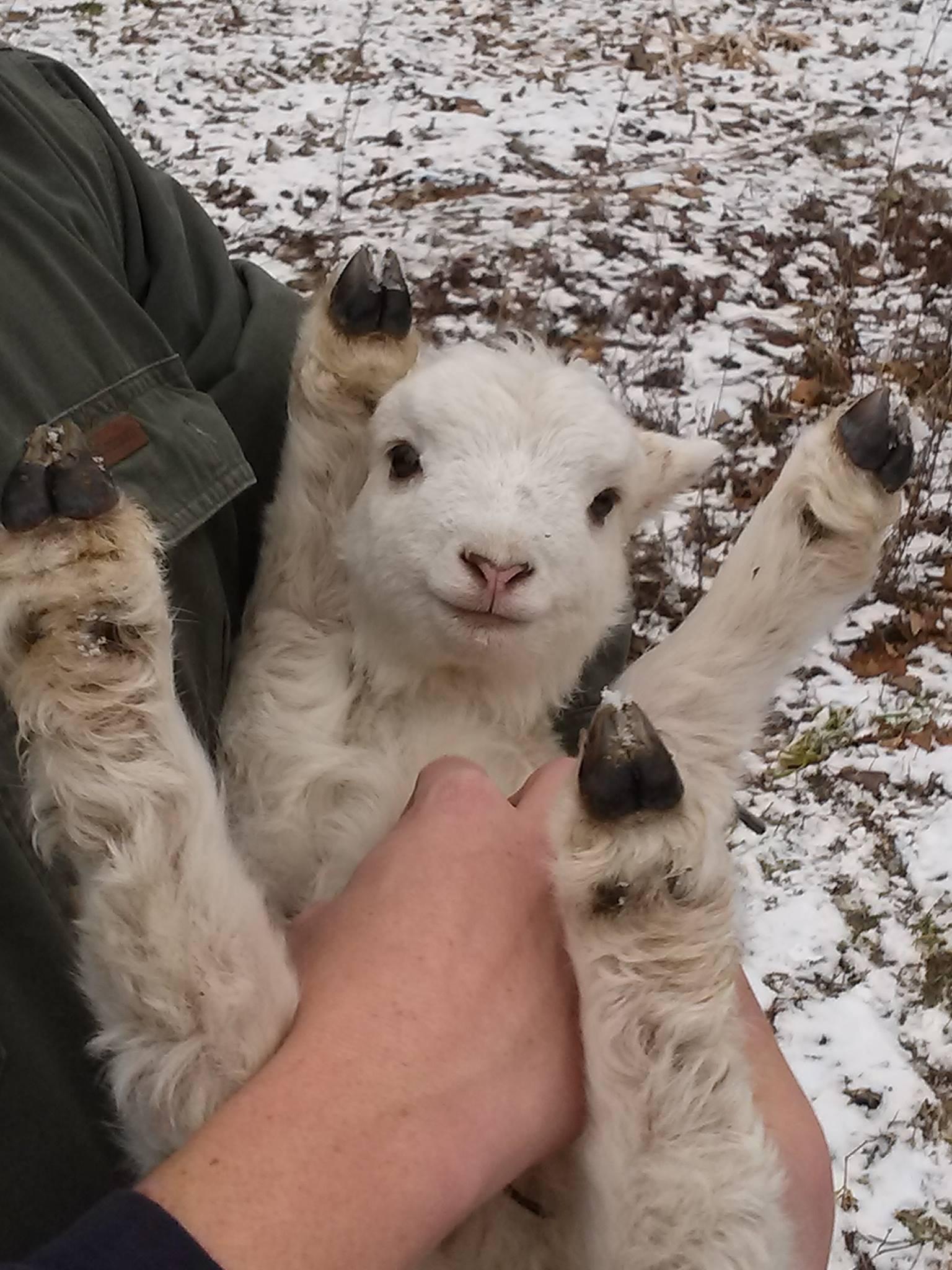 calin-mouton