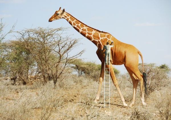 anil-girafe