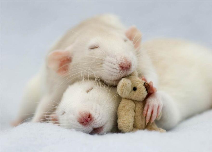doudou-rat10