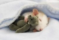 doudou-rat2