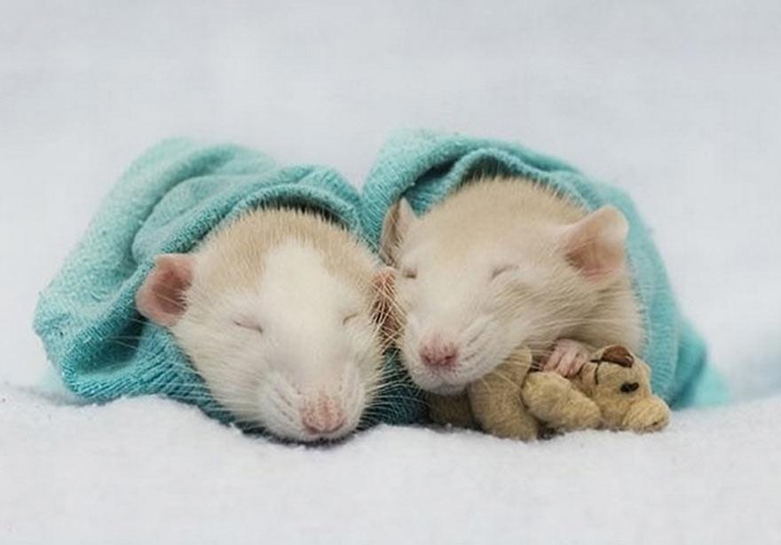 doudou-rat3