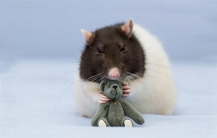 doudou-rat4