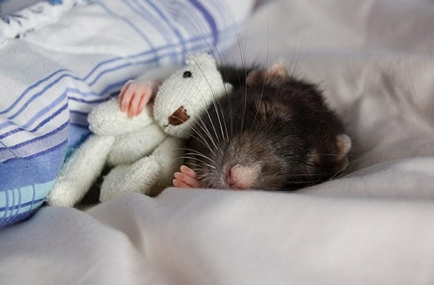 doudou-rat5