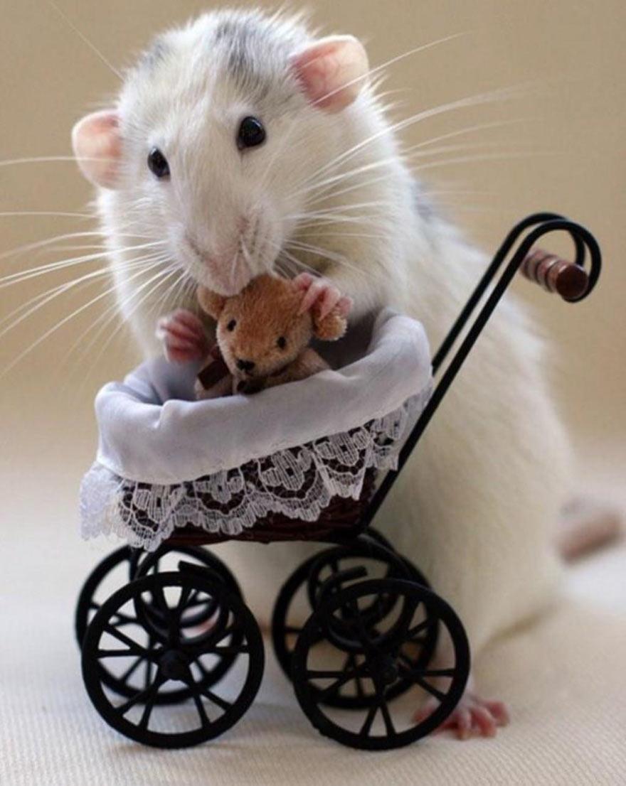 doudou-rat8