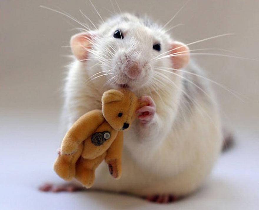 doudou-rat9