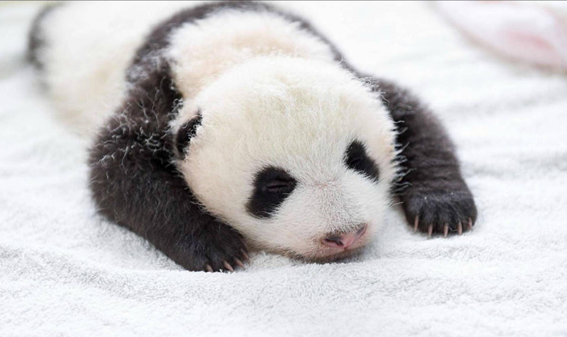 Favoritos Top 12 photos de la réserve de panda à Wolong en Chine | Topito MC68