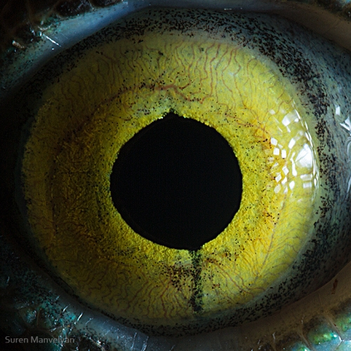 oeil-animaux-suren-mavelyan-2