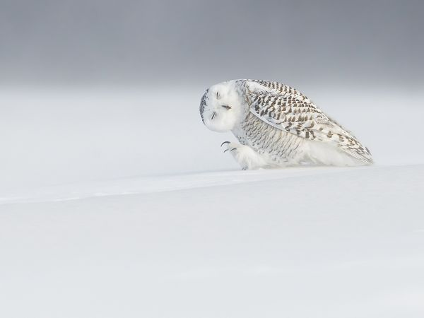 owl-snow-canada_89333_600x450