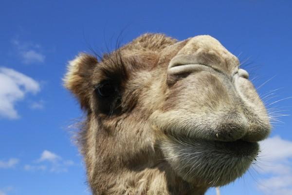 camel-852189_960_720