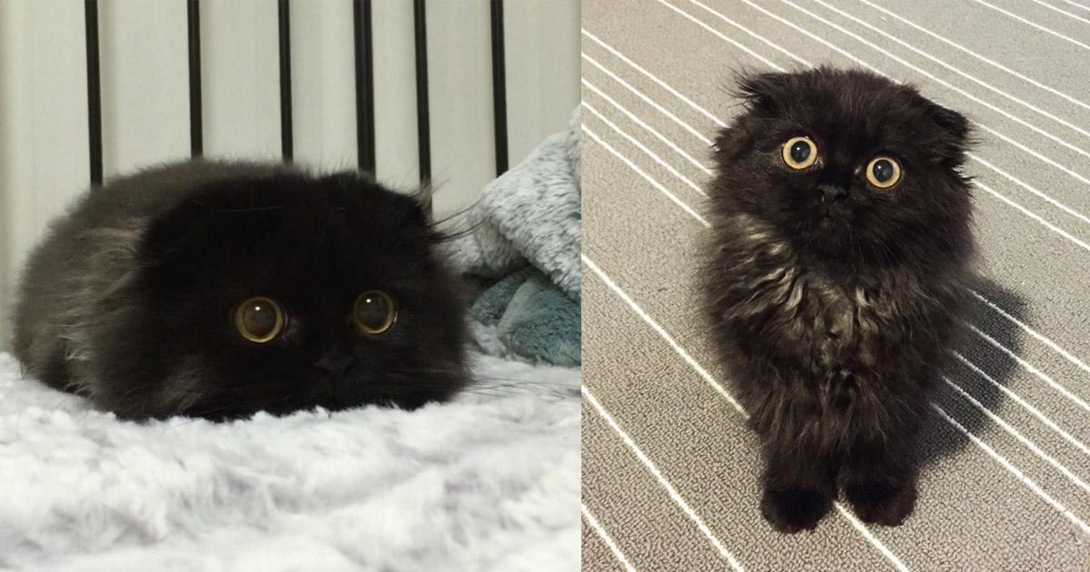 top 15 des photos du chat qui a les plus gros yeux du monde gimo aime le redbull topito. Black Bedroom Furniture Sets. Home Design Ideas