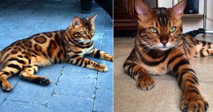 thor-bengal-chat-fourrure-parfaite