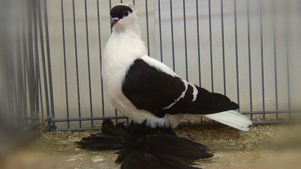 pigeon-saxe