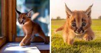 caracal-felin-cute