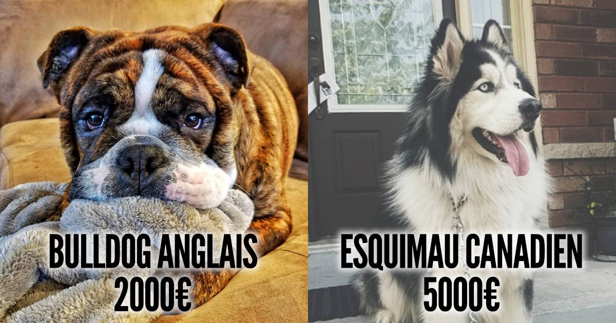 top 10 des chiens les plus chers du monde si ton compte en banque est bien garni topito. Black Bedroom Furniture Sets. Home Design Ideas