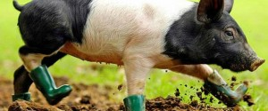14-pig-funny-boots-animal