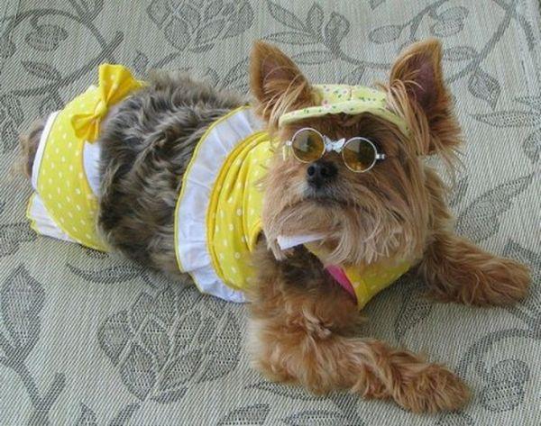 Cute-Dogs-in-Bikinis-12-e1312396528881_resultat