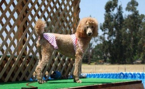 Cute-Dogs-in-Bikinis-8-e1312396254302_resultat