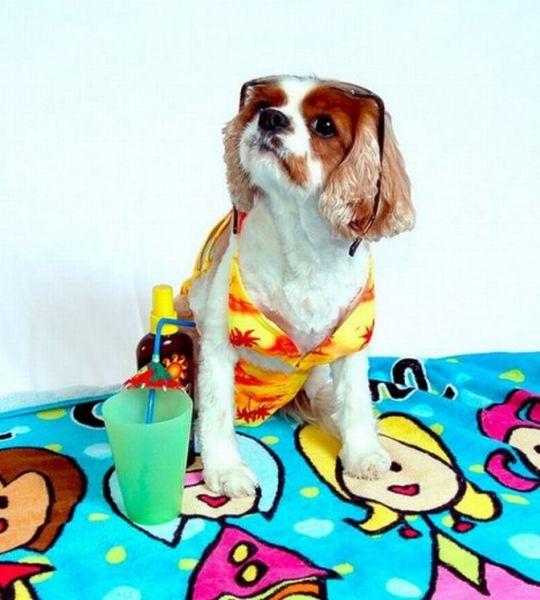 Cute-Dogs-in-Bikinis-9-e1312396352161_resultat