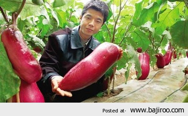 Very-heavy-vegetables-largest-giant-vegetable-things-in-world-funny-images-pictures-photos-5_resultat