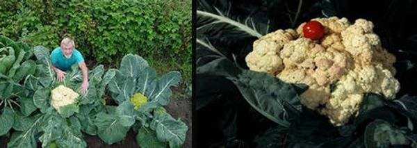a422_cauliflower_resultat