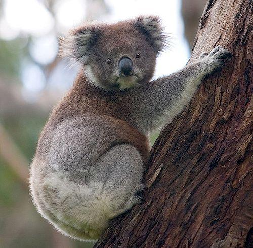 koala_resultat
