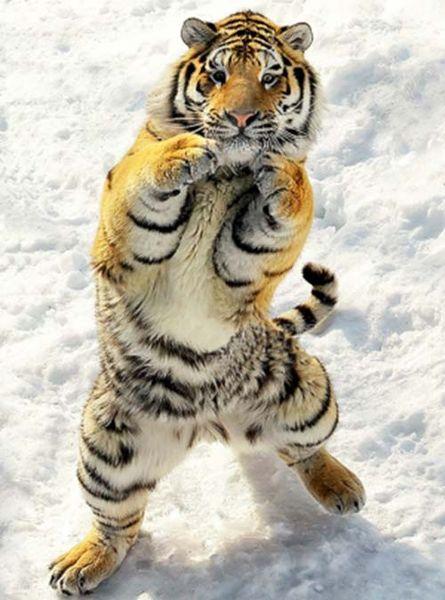 tigre-ninja_resultat