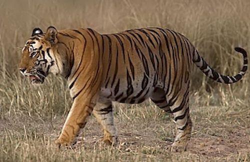 tigre_resultat